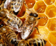 Global Rant: Honey Bee