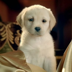 Cute Andrex Puppy