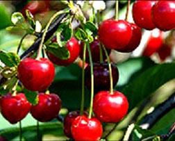 Cherry time!