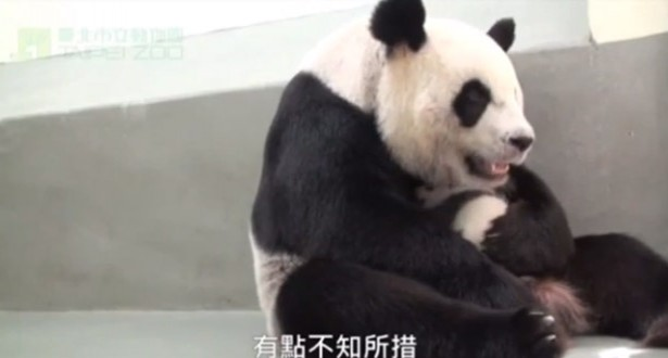 Baby and mother panda reunited
